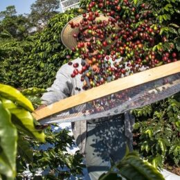 Kava Brazilija PICO MIRANTE 100g